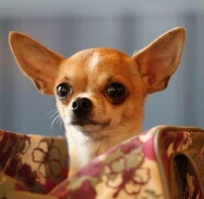 Il cane pi piccolo del mondo il chihuahua for Casa progetta il trotto del cane