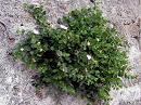 arbusto del cappero