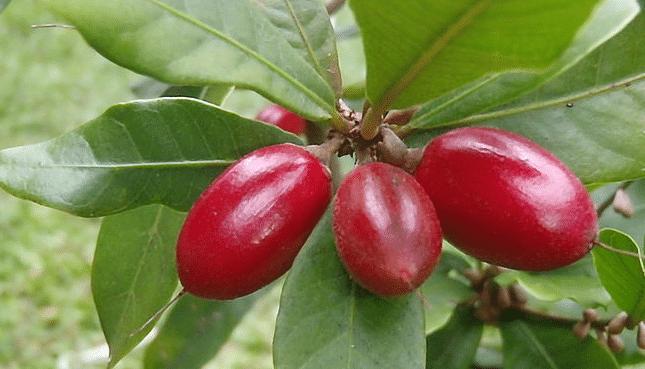 Miracolina