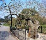 giardini botanici reali kew gardens.pagoda tree