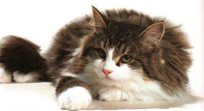 Siberiano Il Gatto Ipoallergenico