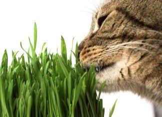 Erba gatta: afrodisiaco per gatti e cura per l'uomo