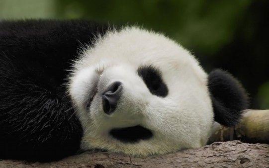 panda sonno profondo
