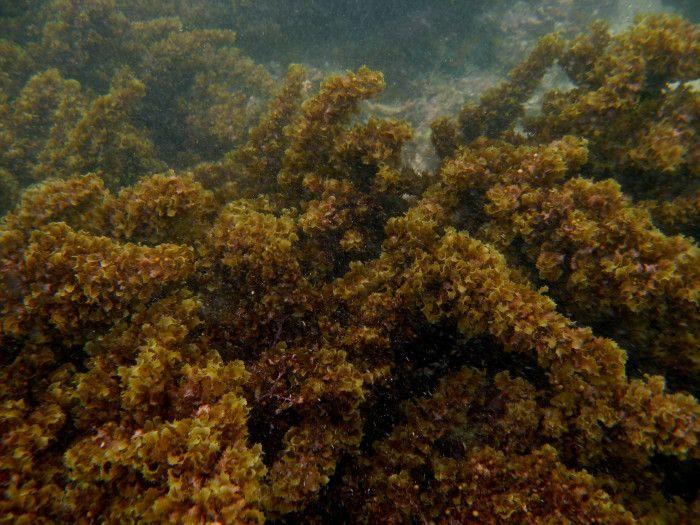 Alghe Sargassum: minaccia per la biodiversità