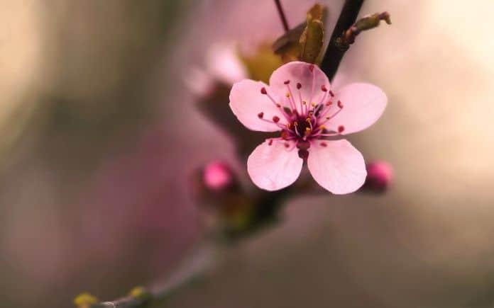 Washington D.C: Festa Nazionale dei ciliegi in fiore