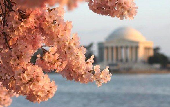 festival nazionale ciliegi in fiore
