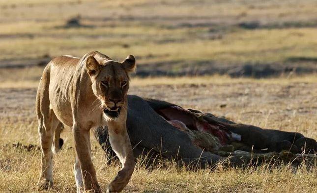 Turista di 22 anni uccisa da una leonessa