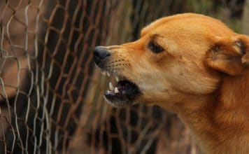 Cane rabbia