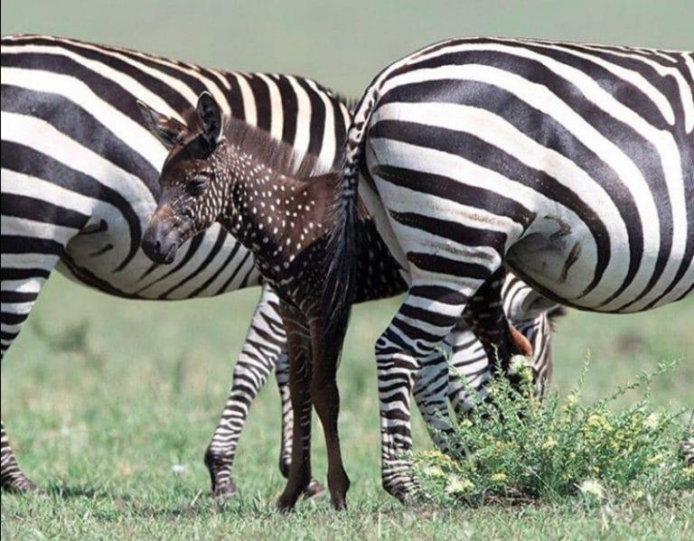 Sapete che 'la zebra a pois' esiste davvero? Un cucciolo è nato in Kenya