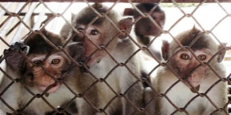 Scimmie in prigione in India: nuovo mezzo per difendersi dalle invasioni