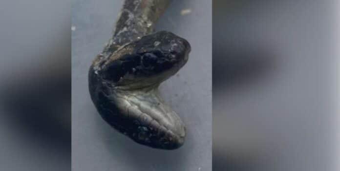 Serpente a due teste