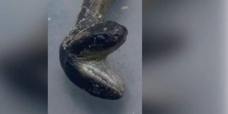 Nato serpente a due teste: cacciatore resta senza parole