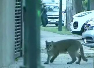 Puma in giro per le strade della città