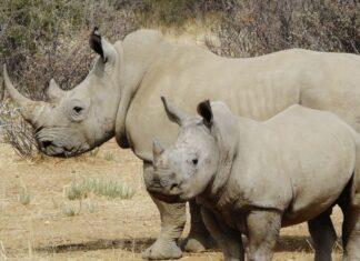 Morti due rinoceronti bianchi