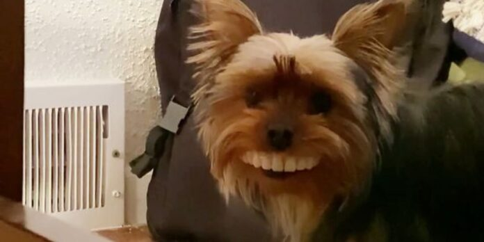 Thomas, Yorkshire terrier
