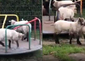 Pecore divertite sulle giostre