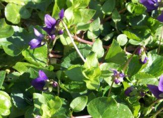 Erbaccia scambiata per pianta ornamentale