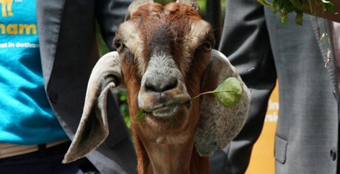 test di paternità sulle capre