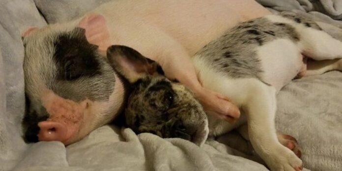 coppia condivide il letto con un maialino
