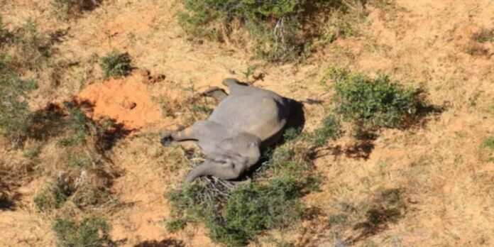 trovati morti 11 elefanti in Zimbabwe
